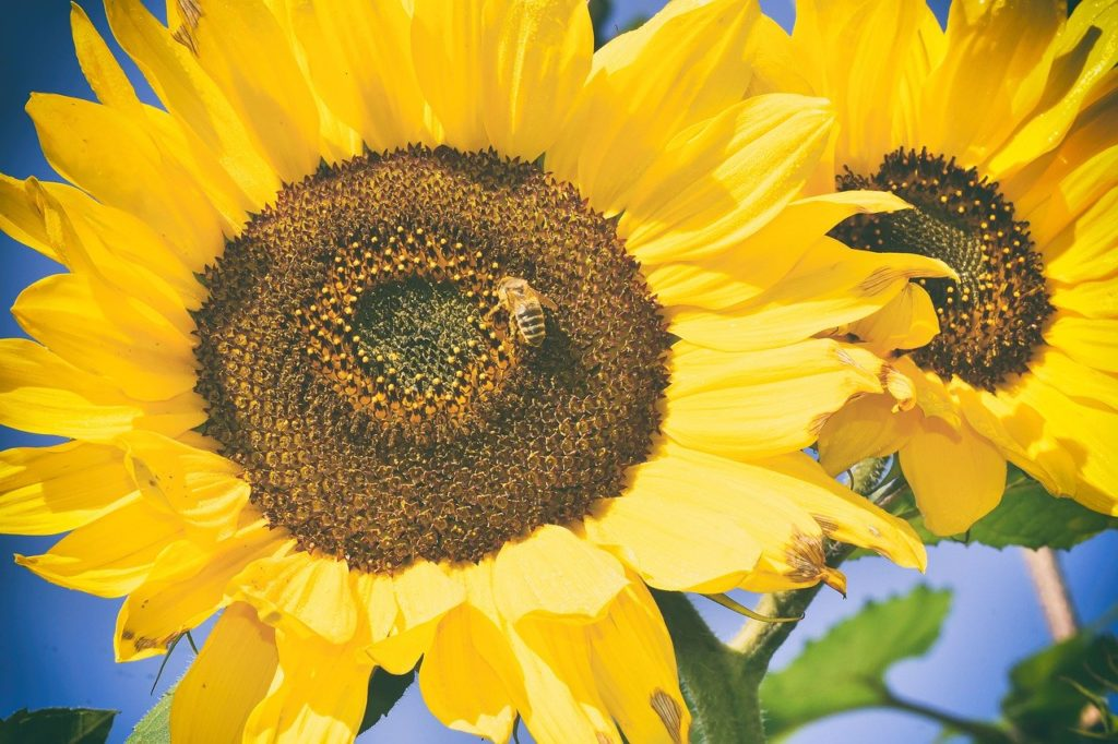 bees, sunflower, yellow